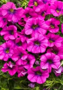 Garden Rose Superbells