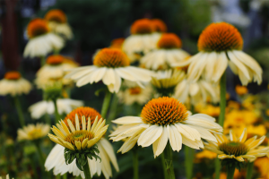 Coneflower Sandy Yellow