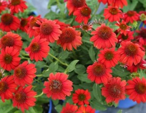 Coneflower Sombrero Salsa Red
