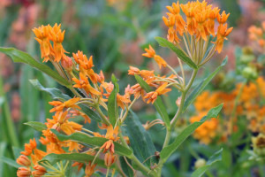 Butterfly Weed Web Ready