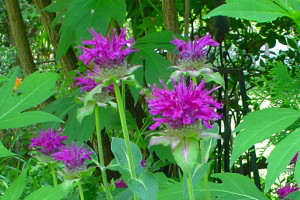 Purple Beebalm