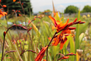 severn sunrise crocosmia ready for web